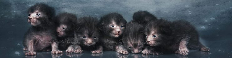 cropped-cropped-lykoi_kittens_13x.jpg