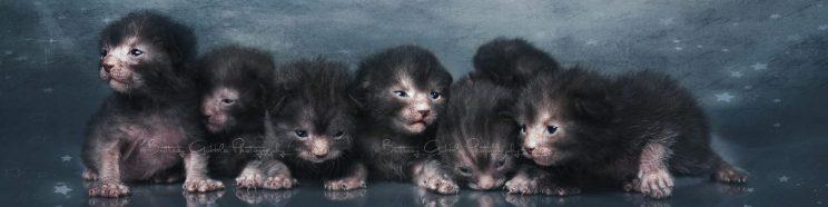 cropped-cropped-lykoi_kittens_13x.jpg