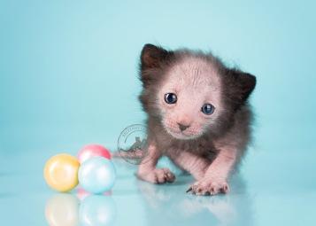 lykoi_kittens_3x