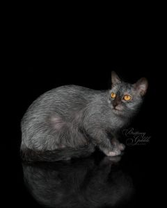 lykoi_kocouri_kitty