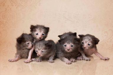 lykoi_kittens_12x